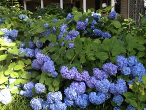 Blue hydrangea, 'Endless Summer.'