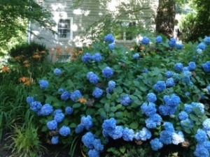 "Blue hydrangea, ""Endless Summer."""