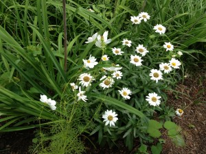 Wild daisy perennials with some white cosmos.